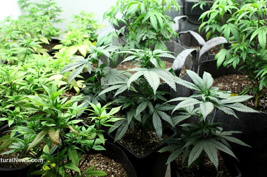 Marijuana-Crop-Plants